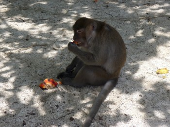 monkeys in krabi