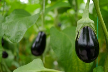 Taves Family Farms - mini eggplants